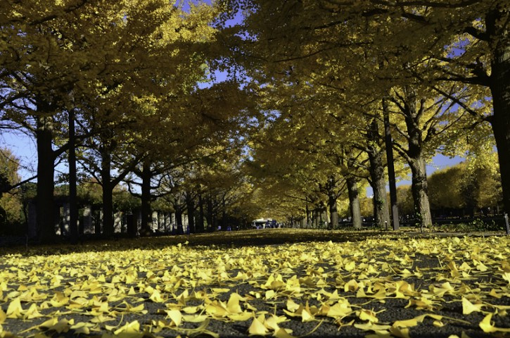 Ginko leafs on road Crimson Leaf tour
