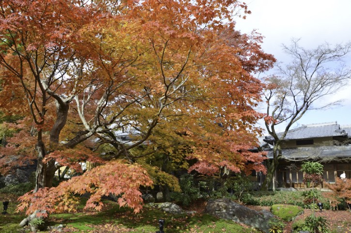Maple trees, Kyoto